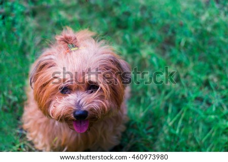beautiful brown dog on green grass in park