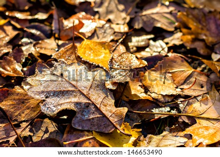 Beautiful brown dried oak leaves with frost