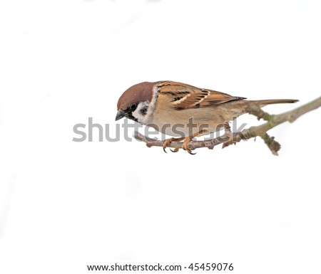 Beautiful brown garden sparrow with uniform background - stock photo