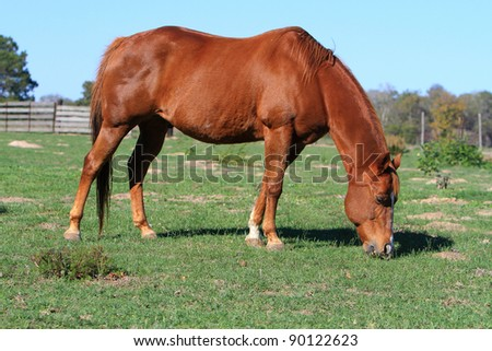 Beautiful brown horse grazing in a pasture - stock photo