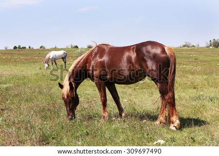 Beautiful brown horse grazing on meadow - stock photo