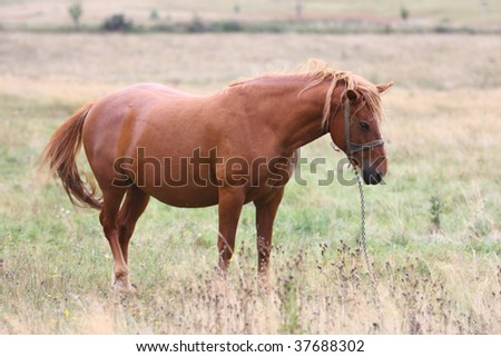 Beautiful brown horse in a dry grass field - stock photo