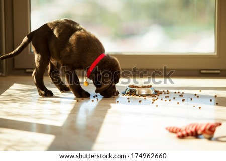 Beautiful brown Labrador eating food from its plate in the living room - stock photo