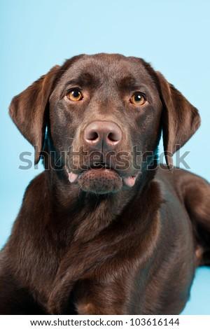 Beautiful Brown labrador retriever isolated on light blue background. Studio shot. - stock photo