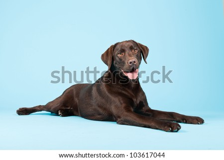 Beautiful Brown labrador retriever isolated on light blue background. Studio shot. - stock photo