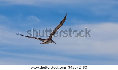 Beautiful brown pelican in flight  in Cabo San Lucas, Mexico