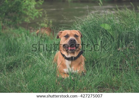 beautiful brown stafford dog lying on grass on shore near river