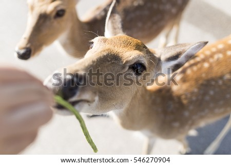 beautiful buck with cut horn eating vegetable, grass or leaf from hand in car park of zoo in Chiangmai ,Thailand