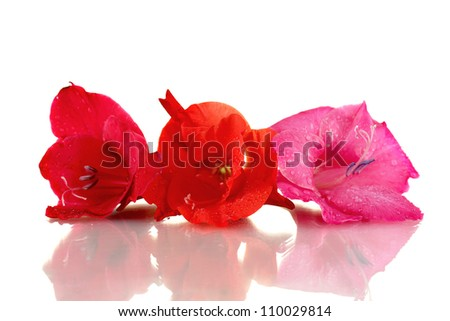 beautiful buds of colorful gladiolus isolated on white close-up