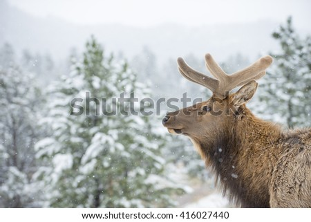 Beautiful bull elk animal mammal with early annual antlers in snow covered forest setting - stock photo