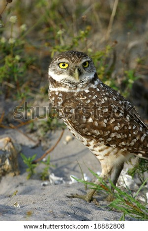 Beautiful Burrowing Owl at Nest for Nature Guide