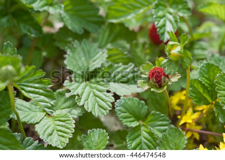 beautiful bush of strawberries