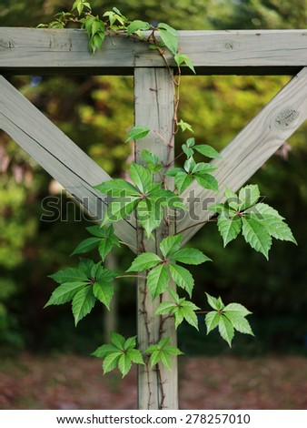 Beautiful but pesky Virginia Creeper vine growing on vintage wooden clothesline outdoors. - stock photo