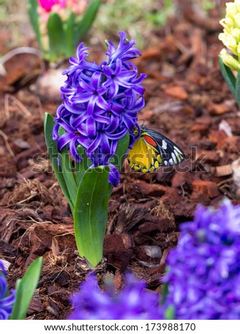 Beautiful butter fly with Blue hyacinth in a flower bed