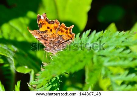Beautiful butterflies on a green background in Retezat mountains - stock photo