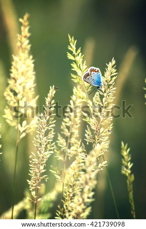 Beautiful butterfly (Common Blue,Polyommatus icarus) on the grass (Calamagrostis) - stock photo