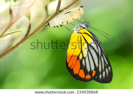Beautiful butterfly emerges from a cocoon - stock photo