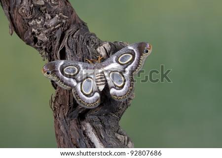 Beautiful butterfly Epiphora Mythimnia - stock photo