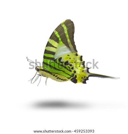 Beautiful butterfly flying isolated on white background (Fivebar Swordtail)