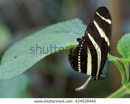 Beautiful Butterfly (Heliconius charithonia)
