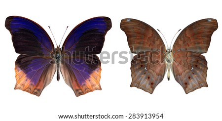 Beautiful butterfly Large Assyrian isolated on white background. - stock photo