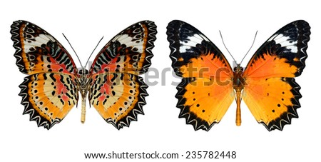 Beautiful butterfly, Malay Lacewing, Leopard Lacewing butterfly isolated on white background - stock photo