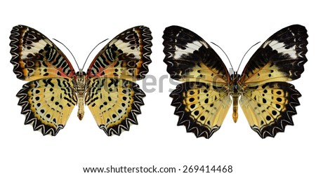 Beautiful butterfly, Malayan Lacewing, female Leopard Lacewing isolated on white background. - stock photo