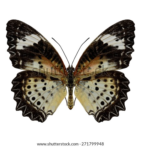 Beautiful butterfly, Malayan Lacewing, female Leopard Lacewing upperwing profile isolated on white background. - stock photo