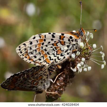 Beautiful Butterfly (Melitaea didyma)