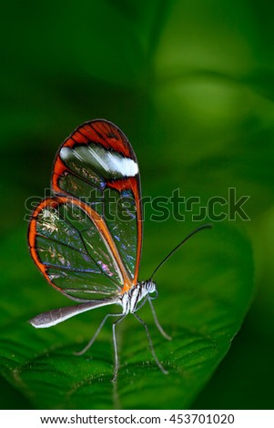 Beautiful butterfly, Nero Glasswing, Greta nero, close-up of transparent glass wing butterfly on green leaves. Scene from tropical forest, Honduras, resting on a green leaf, beautiful insect. - stock photo