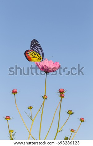 beautiful butterfly on cosmos flower and blue sky nature background