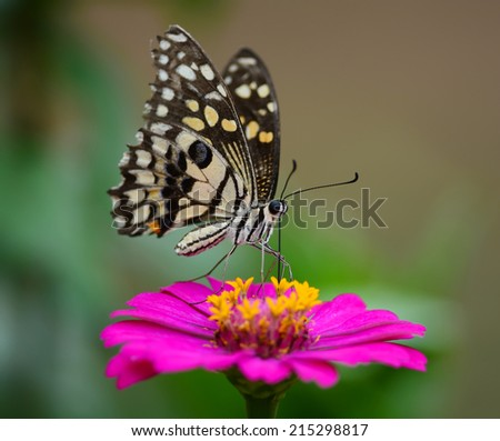 Beautiful Butterfly on Pink flowers