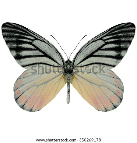Beautiful butterfly Painted Jezebel upper wing profile isolated on white background.(Deilas hyparete) - stock photo