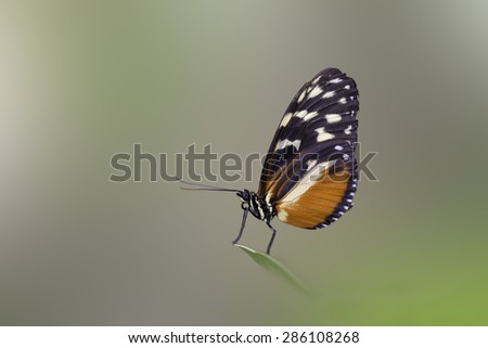 Beautiful butterfly standing over a leaf in the morning - stock photo
