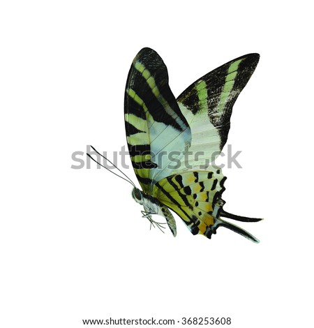 Beautiful butterfly The Five Bar Swordtail isolated on white background(Graphium agetes)