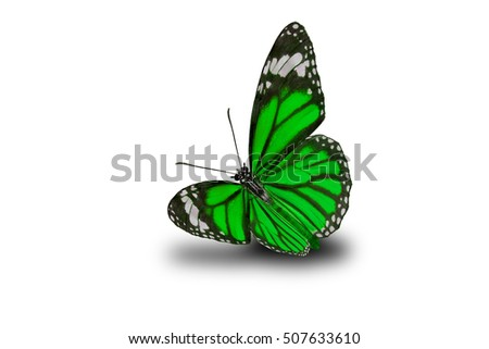 Beautiful Butterfly, Tiger Butterfly flying up (Danaus chrysippus) ,butterfly isolated on white background