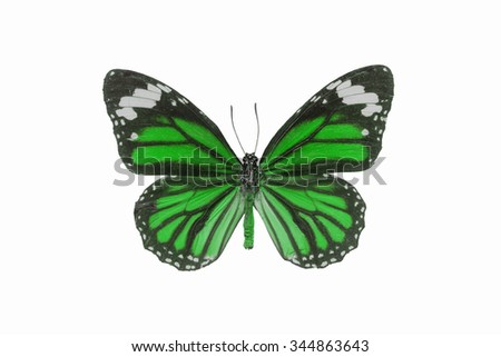 Beautiful butterfly wing isolated on white background,Common Tiger