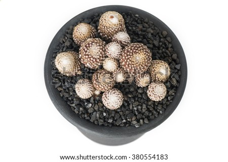 Beautiful cactus (Copiapoa Laui) with black gravels in black pot in cultivation - White Background
