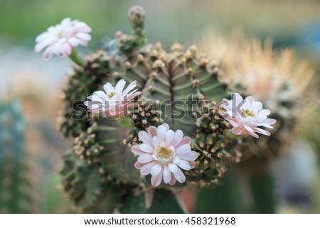 beautiful cactus flower bloom - stock photo