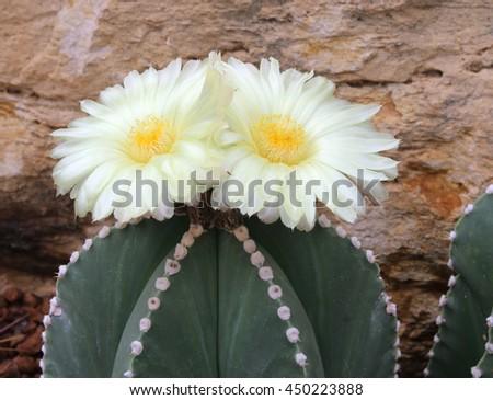 Beautiful cactus flowers  blooming  - stock photo