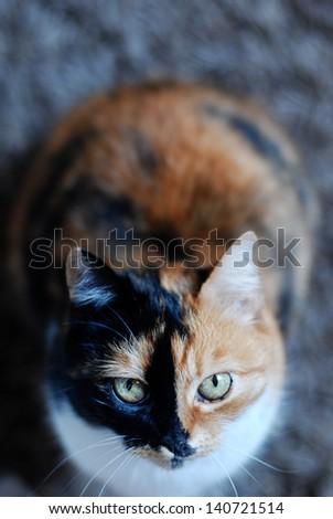 Beautiful calico cat - stock photo