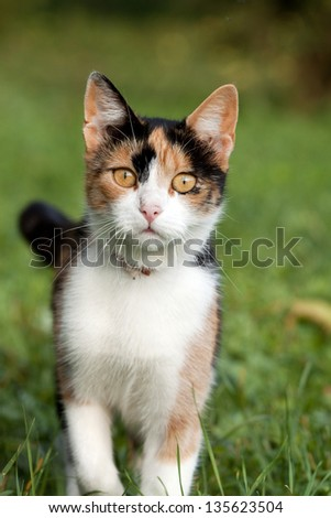 Beautiful calico cat in the grass
