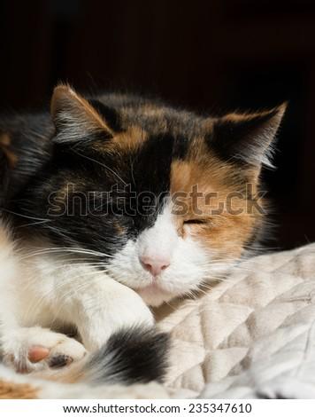 Beautiful calico cat sleeping in a sunny spot - stock photo