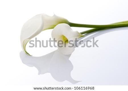 beautiful calla on white background - stock photo