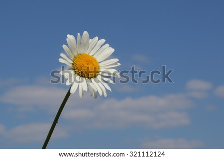 beautiful camomile flower over the blue sky background