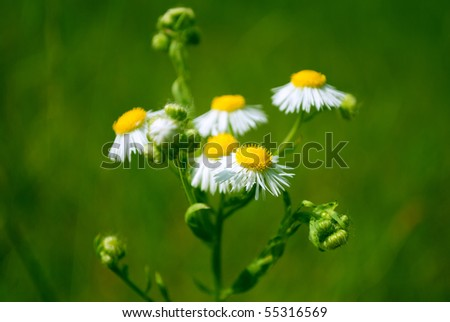 Beautiful camomiles on green background