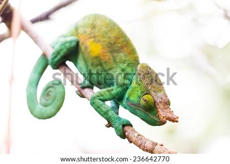 Beautiful camouflaged Parsons chameleon (Calumma parsonii) in Madagascar - stock photo