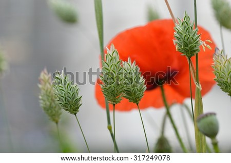 Beautiful canary grass seed heads (Phalaris canariensis) in an atmospheric misty field with a lone dreamy red corn poppy flower (Papaver rhoeas).   - stock photo