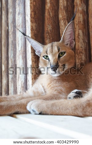 Beautiful caracal or African lynx with long tufted ears (wild animal, desert cat) - stock photo
