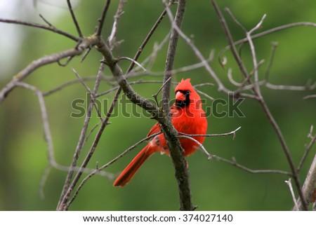 Beautiful Cardinal bird on the tree - stock photo